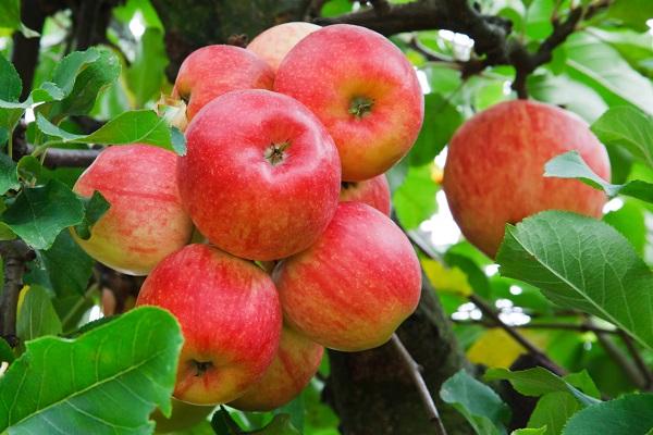 Яблоки для укрепления иммунитета