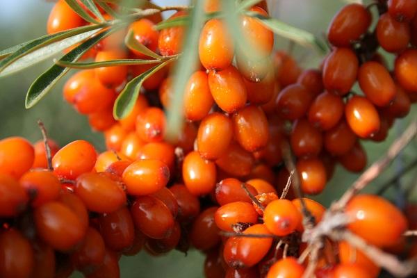 Витаминизированная смесь из облепихи с медом Почему облепиха с медом полезна