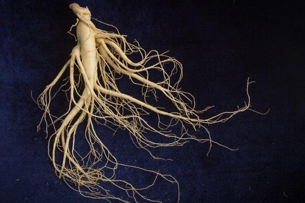 Как выглядит корень женьшеня
